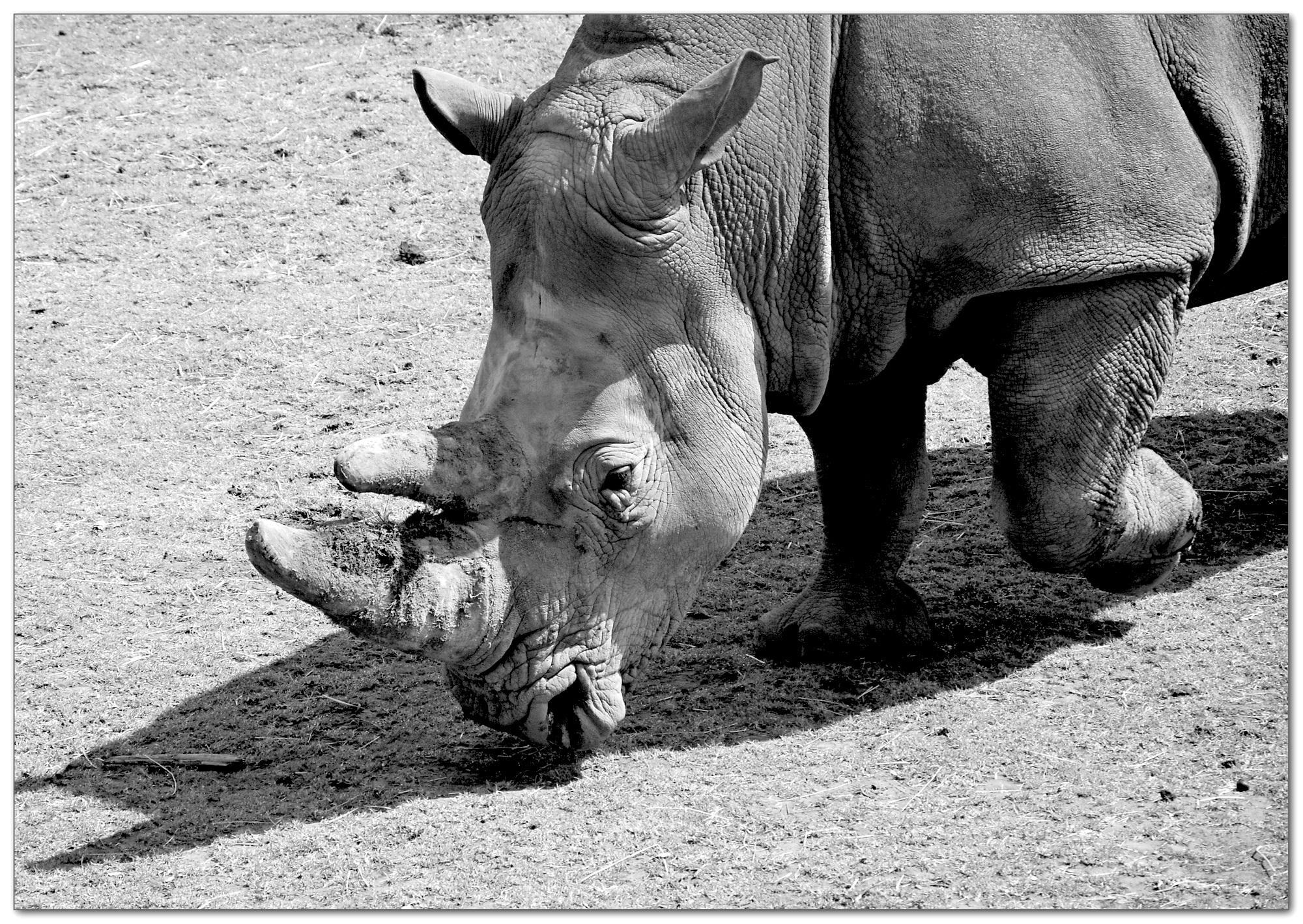 noshörningen